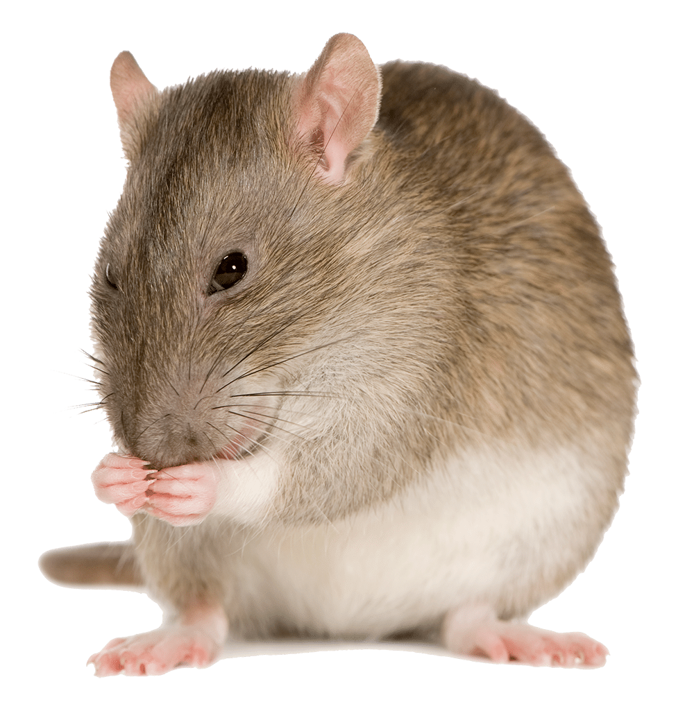 A mouse, which can cause significant property damage.
